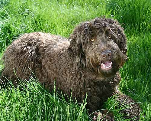 Every Pet Has Its Days: Labradoodles Facts & Pictures