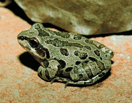 Illinois Chorus Frog Photo - Scientists support listing this species and dozens like it, as endangered.