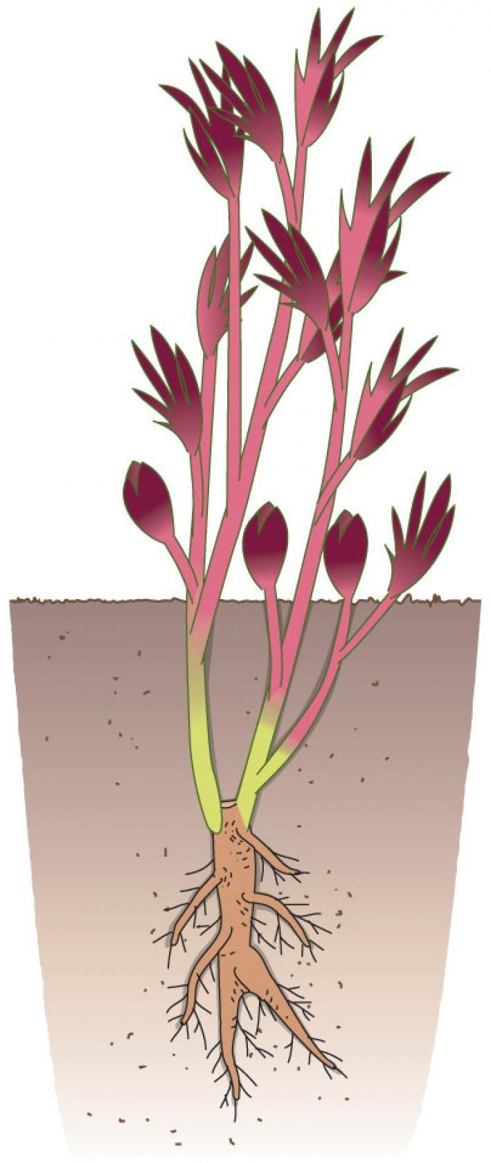 strauch pfingstrosen richtig pflanzen garten pfingstrosen pflanzen pflanzen und garten. Black Bedroom Furniture Sets. Home Design Ideas