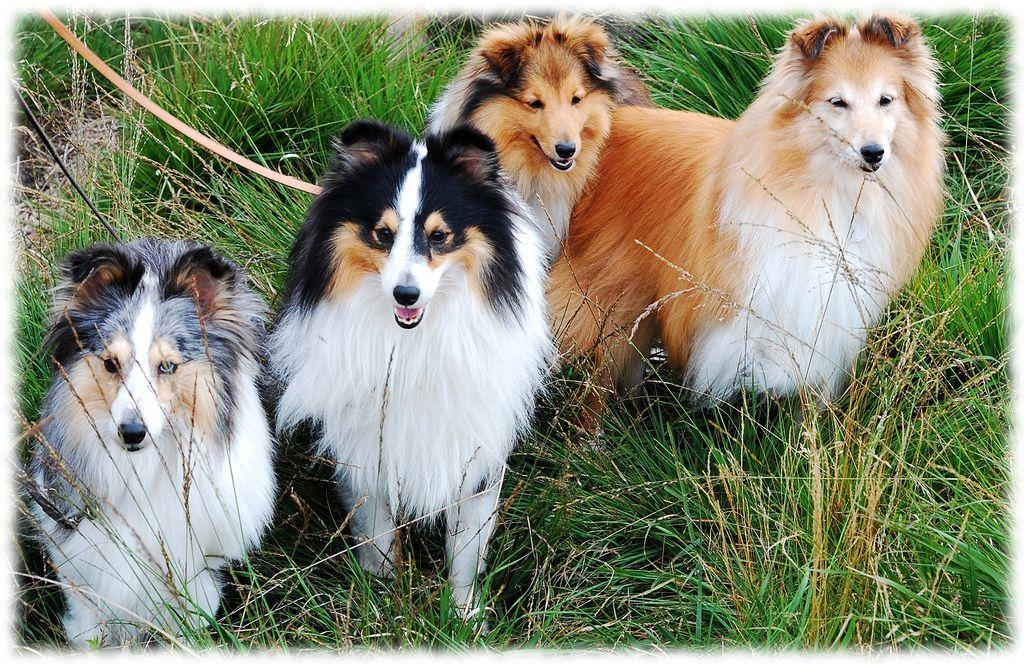 Shetlanninlammaskoira Dogs And Puppies Shetland Sheepdog Animals