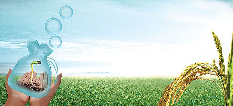 Rice Crop Agriculture Background Banner Hope Sprout Rice Crop Background Banner Background Images