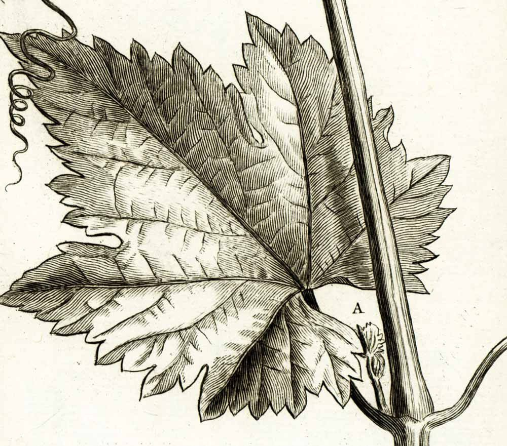 1797 antique plum tree flower fruit print botanical natural history wall home decor en 2019 so - Feuille de vigne dessin ...