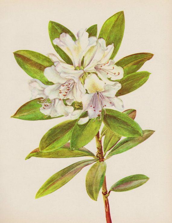 Vintage Rhododendron Print Romantic Flower Art Print Botanical Print ...