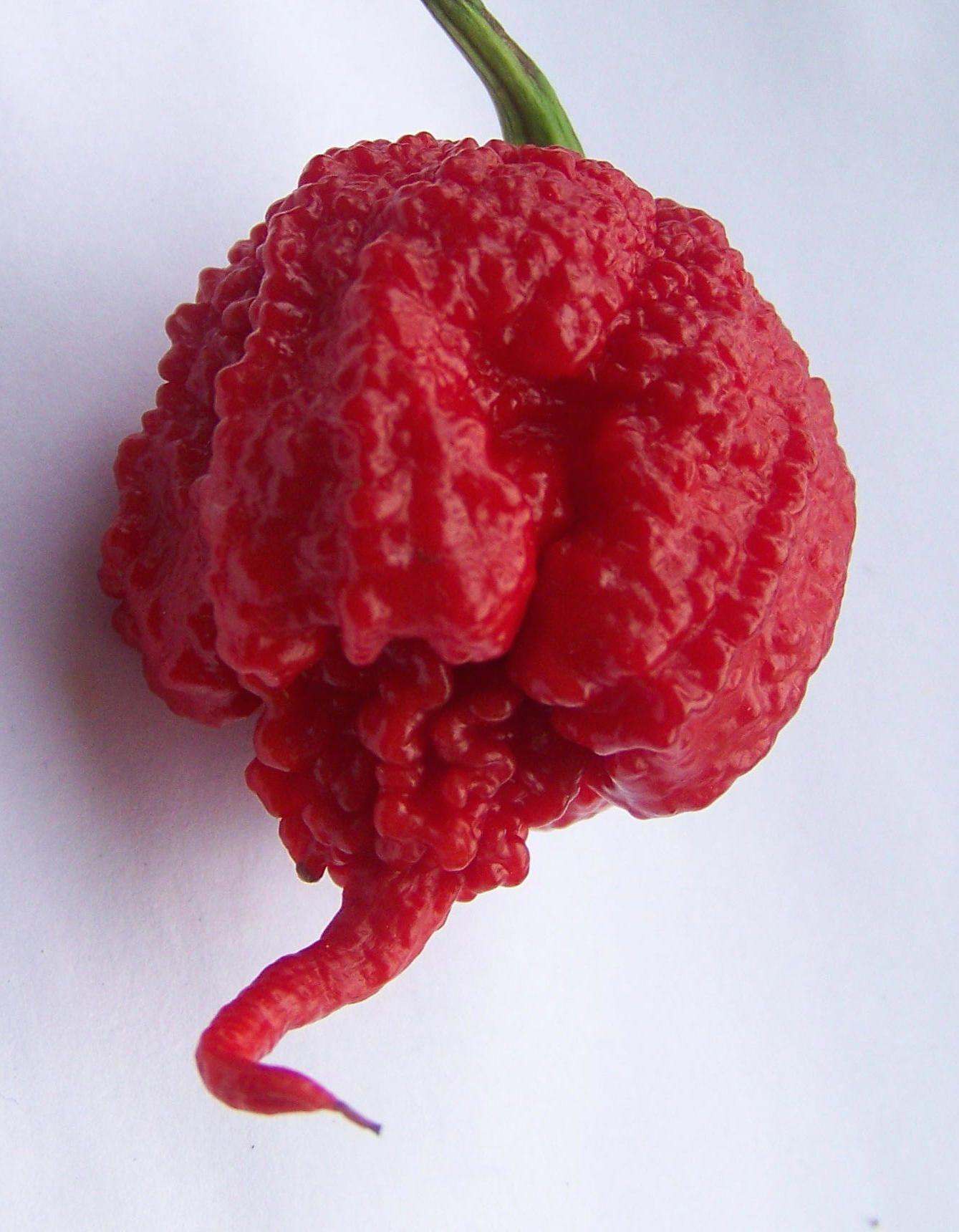 Carolina Reaper Chili Pepper. THE hottest pepper in the world, developed right…
