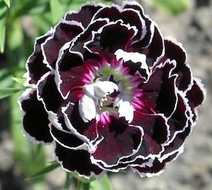 100pcs Multi-colored Dianthus Chinensis Flower Seeds Balcony Bonsai Flower Seeds