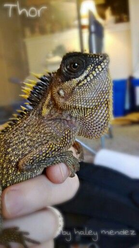 Thor, my Mountain Horned Dragon. (: