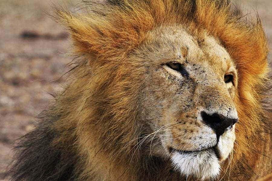 11++ Lion spirit animal meaning images