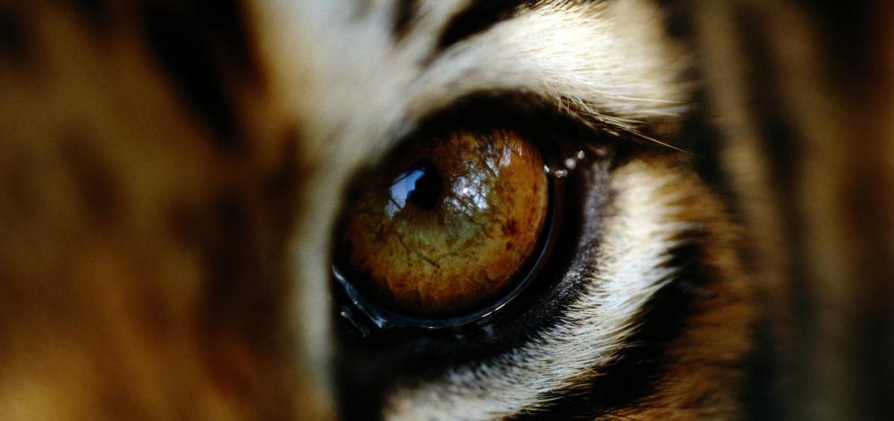 International Tiger Day in 2020 Wwf tiger, Animals