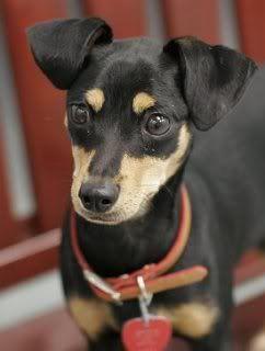 Stud Hybrid Chipin Chihuahua X Minipin Minnie Jack Minipin X Jrt Hybrid Dogs Chihuahua Weiner Dog