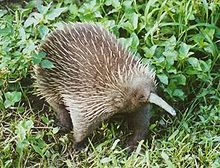 Echidnas And The Platypus Are The Only Egg Laying Mammals Known