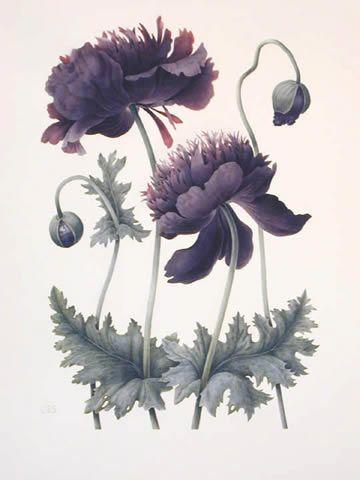 Coquelicot noir botanique herbiers pinterest botanique coquelicots et dessins de fleurs - Tatouage coquelicot noir ...