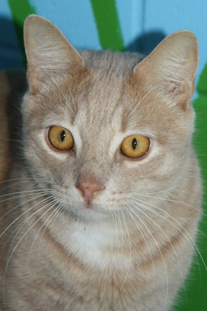 Hello. I'm Tim, a handsome shorthaired Ginger tabby with