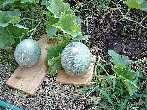 Cantaloupe In The Garden Vegetable Garden Raised Beds Veggie Garden Outdoor Makeover