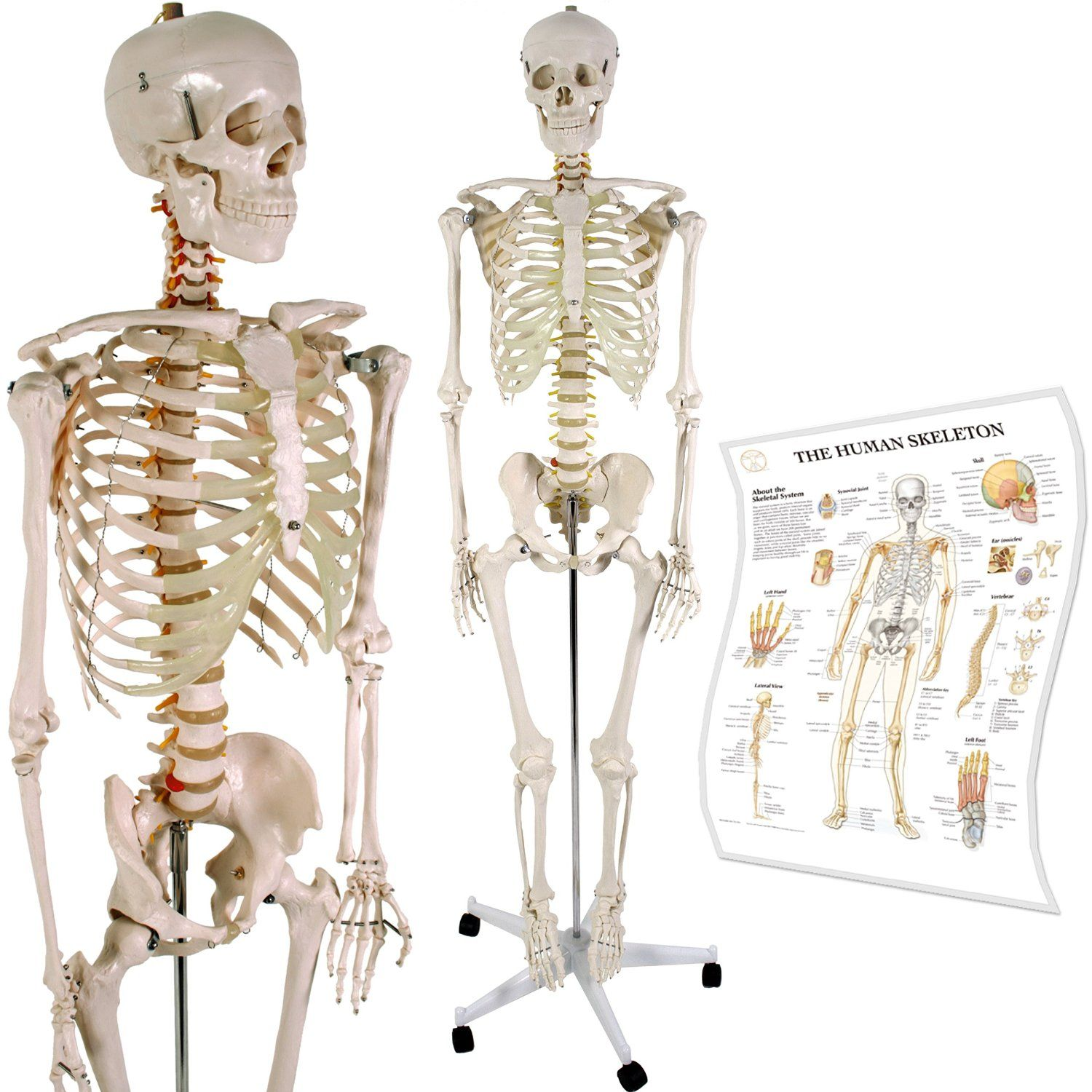 Anatomical Skeleton Model W Stand For Medical School