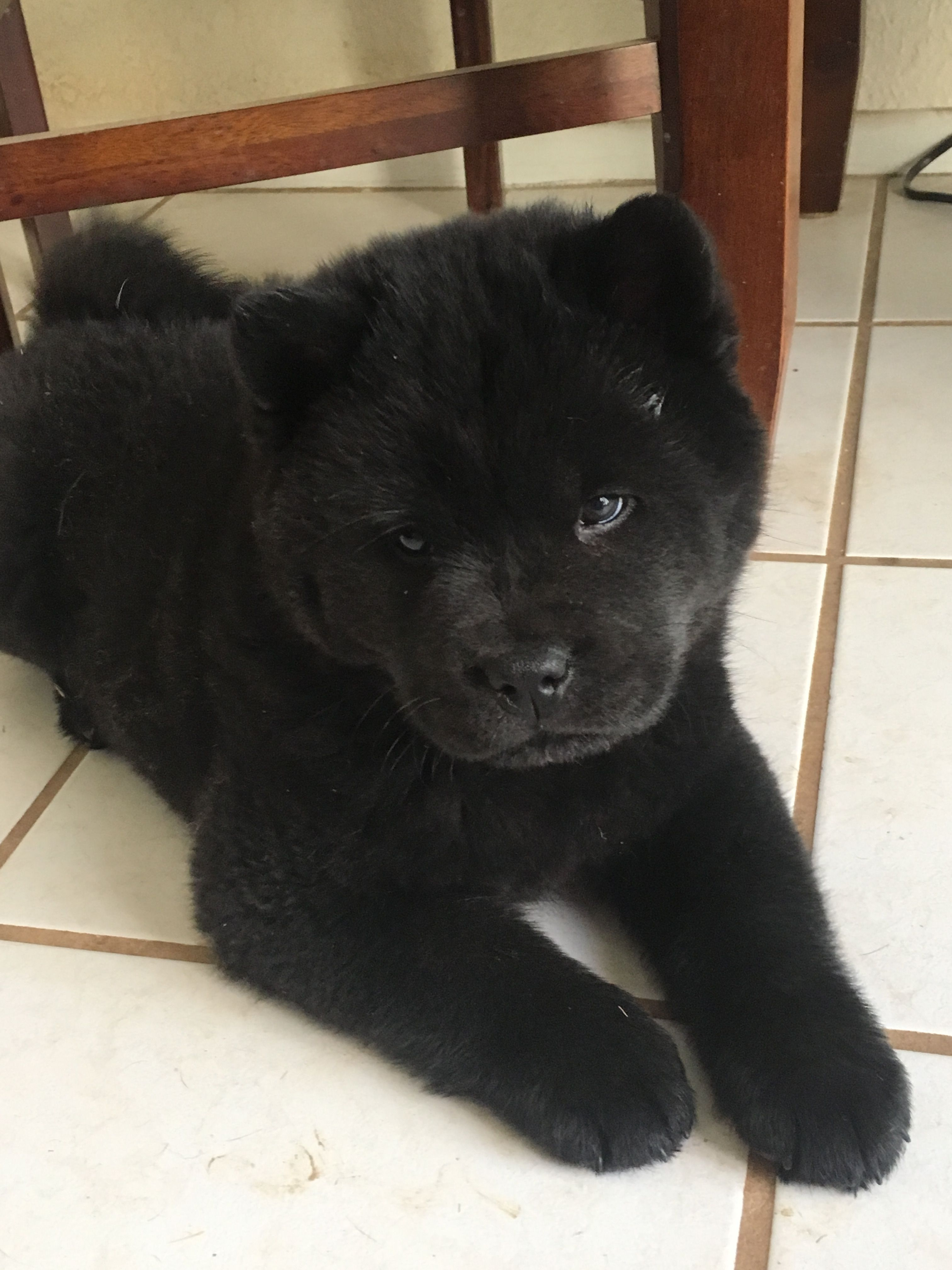 Pups Image By Tammy Anderson Cute Dogs Cute Animals Chow Chow Dogs
