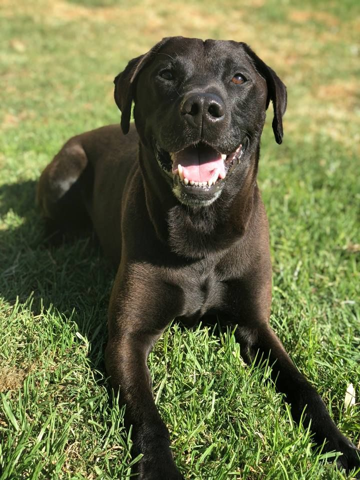 Booth 6 year old male Labrador mi x adopted 25.11.2018