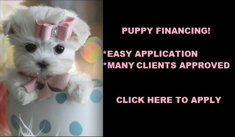 Teacup Maltese Puppies For Sale Florida Maltese Puppy Teacup