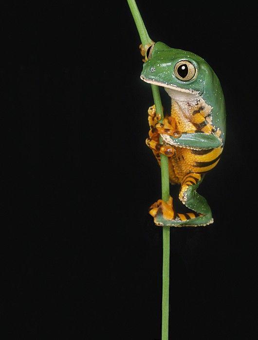 Striped Lemur Frog