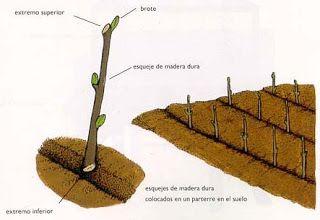 Estaca reproduccion asexual plantas curativas