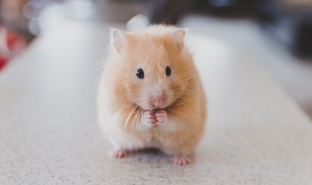 hamster   ペット   Pinterest
