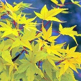 Arbuste au feuillage vert puis jaune or l 39 automne petites feuilles ecorce rouge corail - Arbuste japonais fleur jaune ...