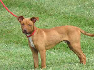 Adopt Christine On Basenji Dogs Pet Care Animals