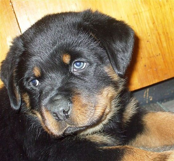 Rottweiler Pups Pet Dog Puppies For Sale In Ny Want Ad Digest