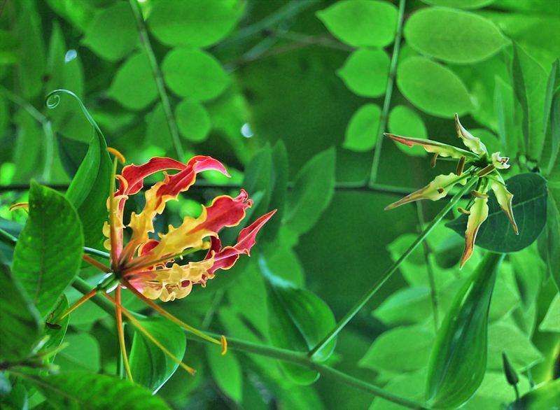 State symbols of Tamil Nadu Flower