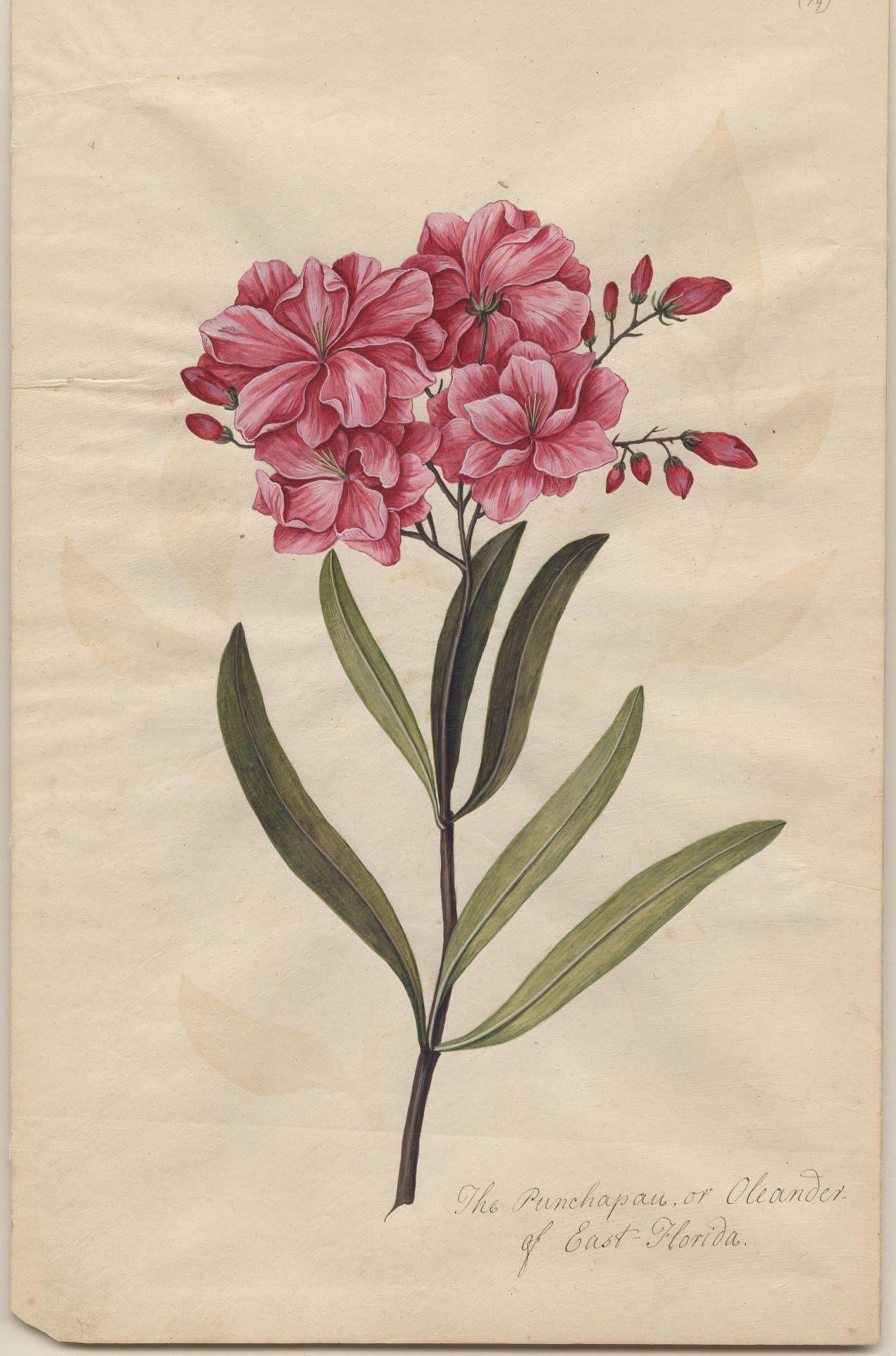 Punchapau of East Florida or Oleander | Botánica, Flores y Ilustraciones