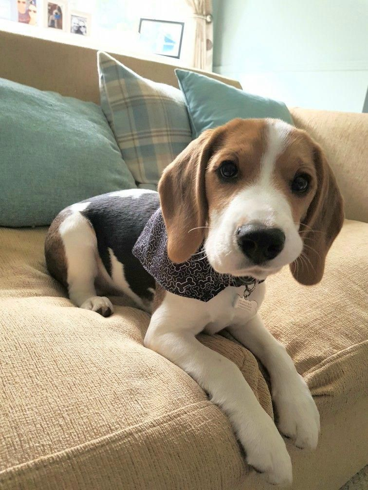 His Mouth Is Twisted Family Members Beagle Beagle Dog Beagle
