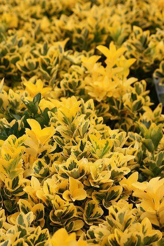 Euonymus 'Aureo-marginata'   Flickr - Photo Sharing!