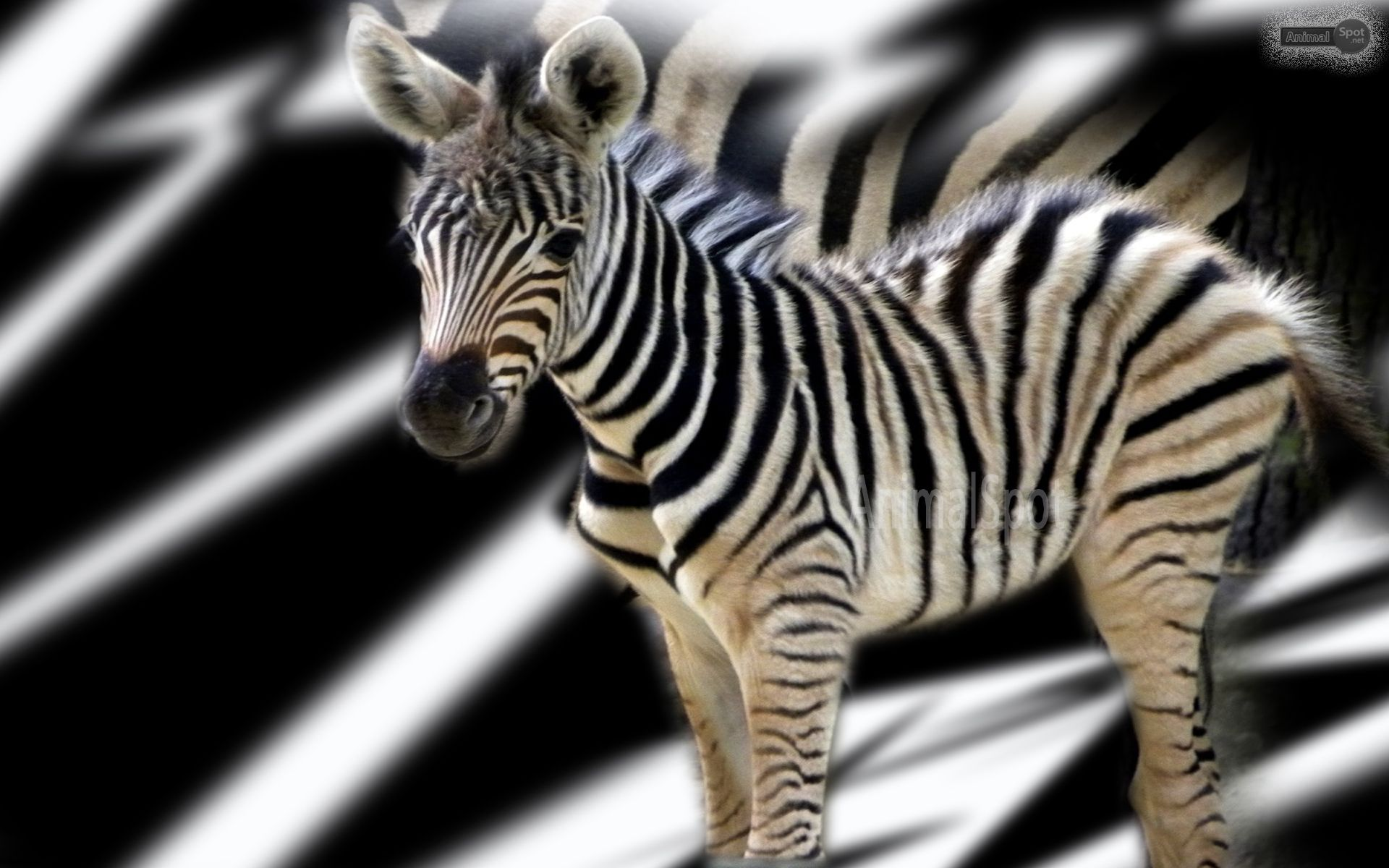 wallpaper with a group of zebras hd animals wallpapers a· zebra wallpaperfree