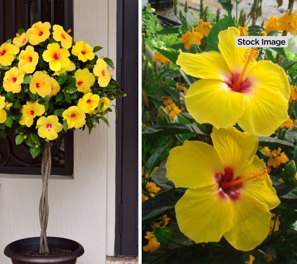 Cottage Farms Chatty Cathy Braided Hibiscus Patio Tree Qvc Com