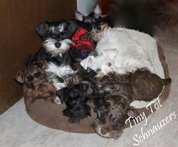 I Want Them All Miniature Schnauzer Puppies Teacup Puppies Toy Schnauzer