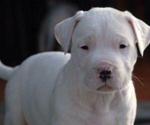 Dogo Puppy Dogo Argentino Dog Cute Puppies Puppies