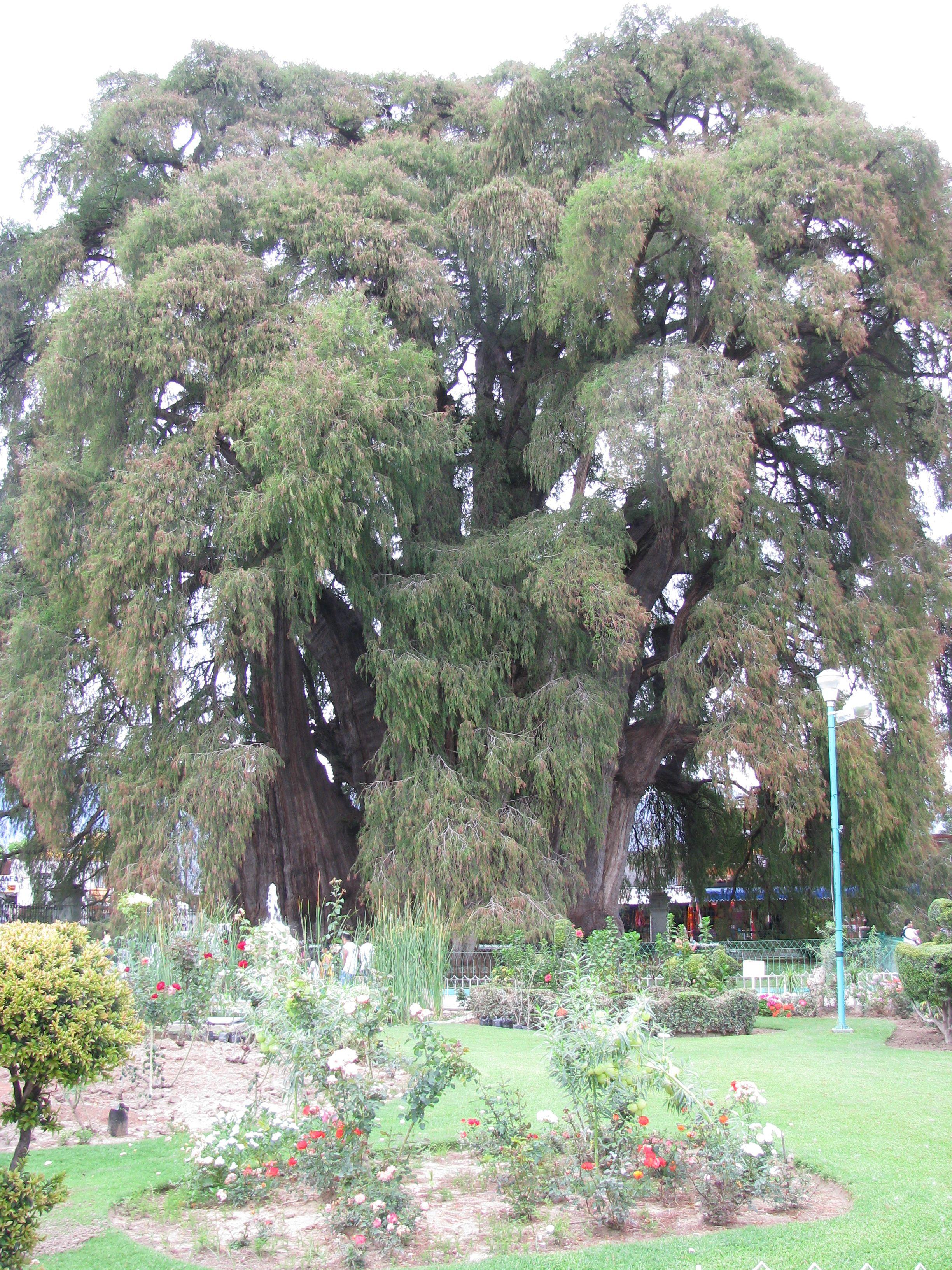 El Tule, oldest tree in the Western Hemisphere