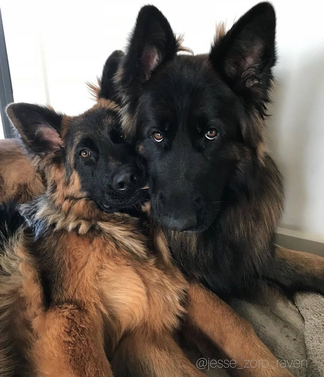 Pin By Tammy Allen On Puppies German Shepherd Scary Dogs Dog Life