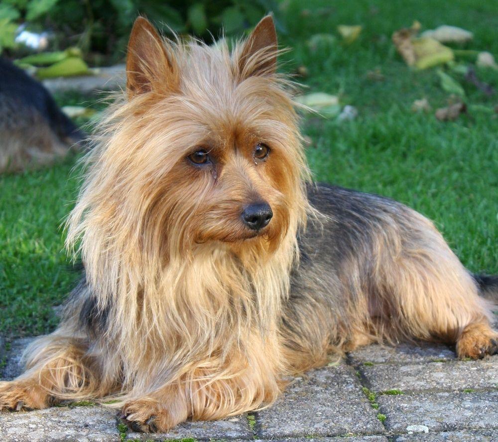 Australian Terrier Dog Australian Dog Breeds Australian Terrier