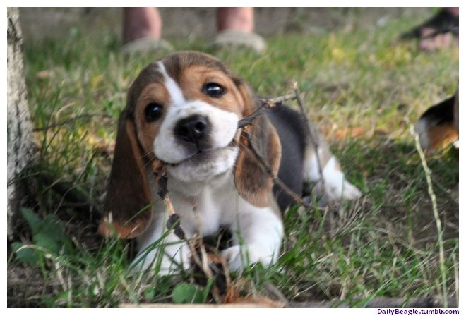 Look At This Adorable Beagle Dog Makes Me Happy To See This Baby