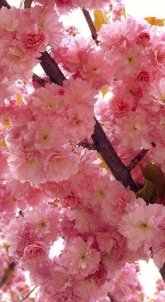 Pin On Sakuras