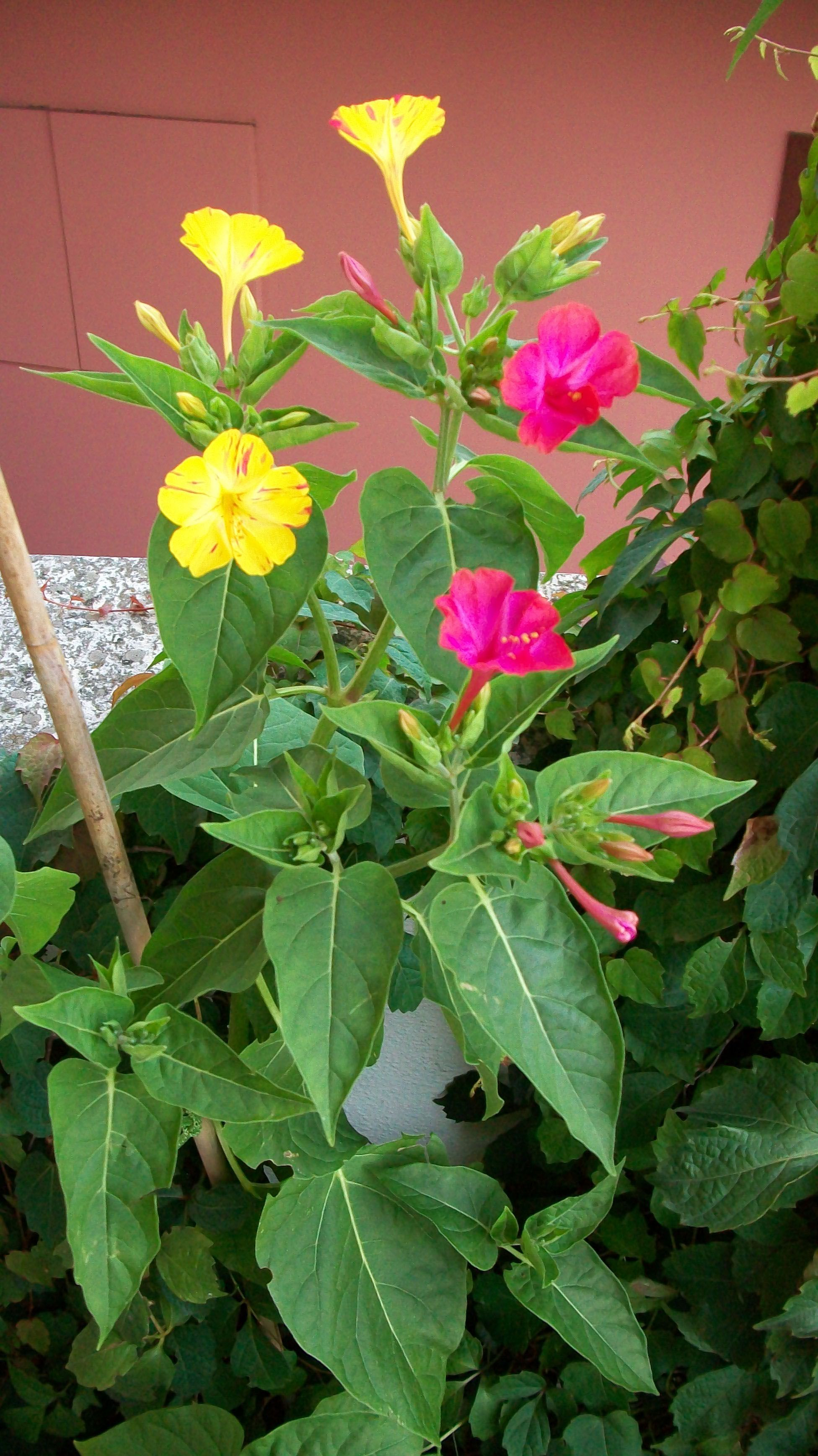 Four Oclock Flowers Or Marvel Of Peru We Call These The Koolaide