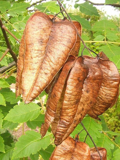 Golden Rain Tree And Flamegold Golden Rain Tree Seed Pods Tree Seeds