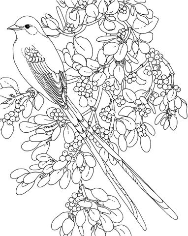 Supercoloring Coloring Pages Oklahoma Scissor Tailed Flycatcher And Mistletoe Flower