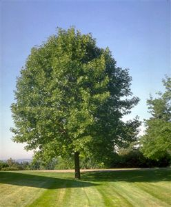 White Ash Tree - Ash Tree Family - Willis Orchard Company
