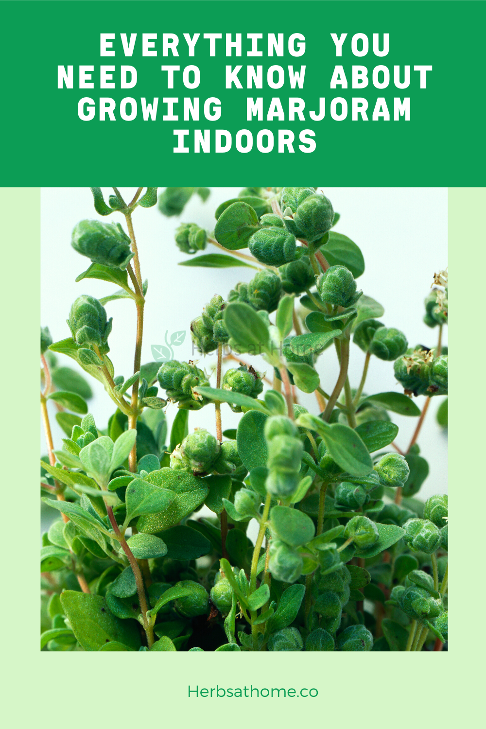 Everything You Need To Know About Growing Marjoram Indoors 400 x 300
