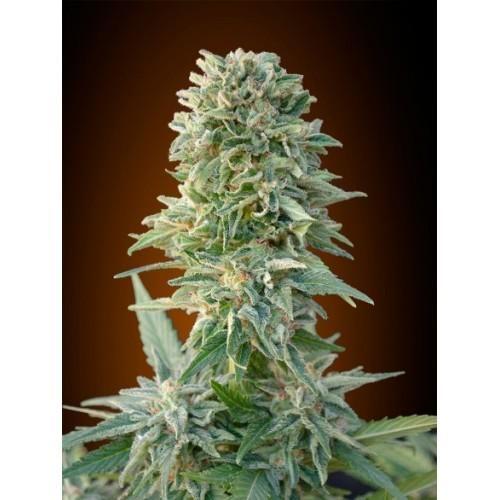 ADVANCED SEEDS Auto Jack Herer Feminised Seeds Based on a careful selection of Jack Herer,