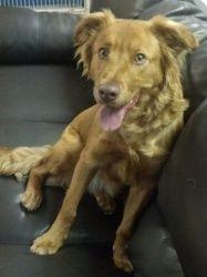Adopt Chief On Brittany Spaniel Adoption Animals