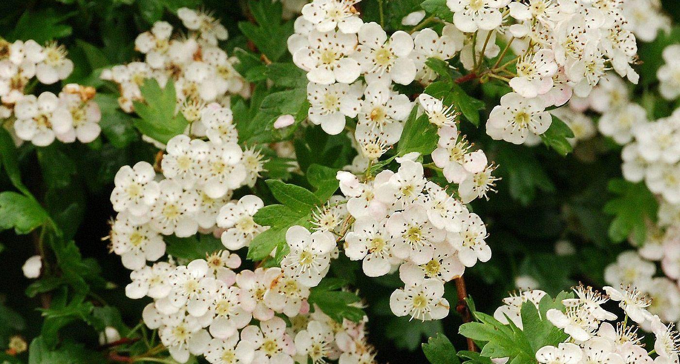 Missouri State Flower The White Hawthorn Blossom Illo The