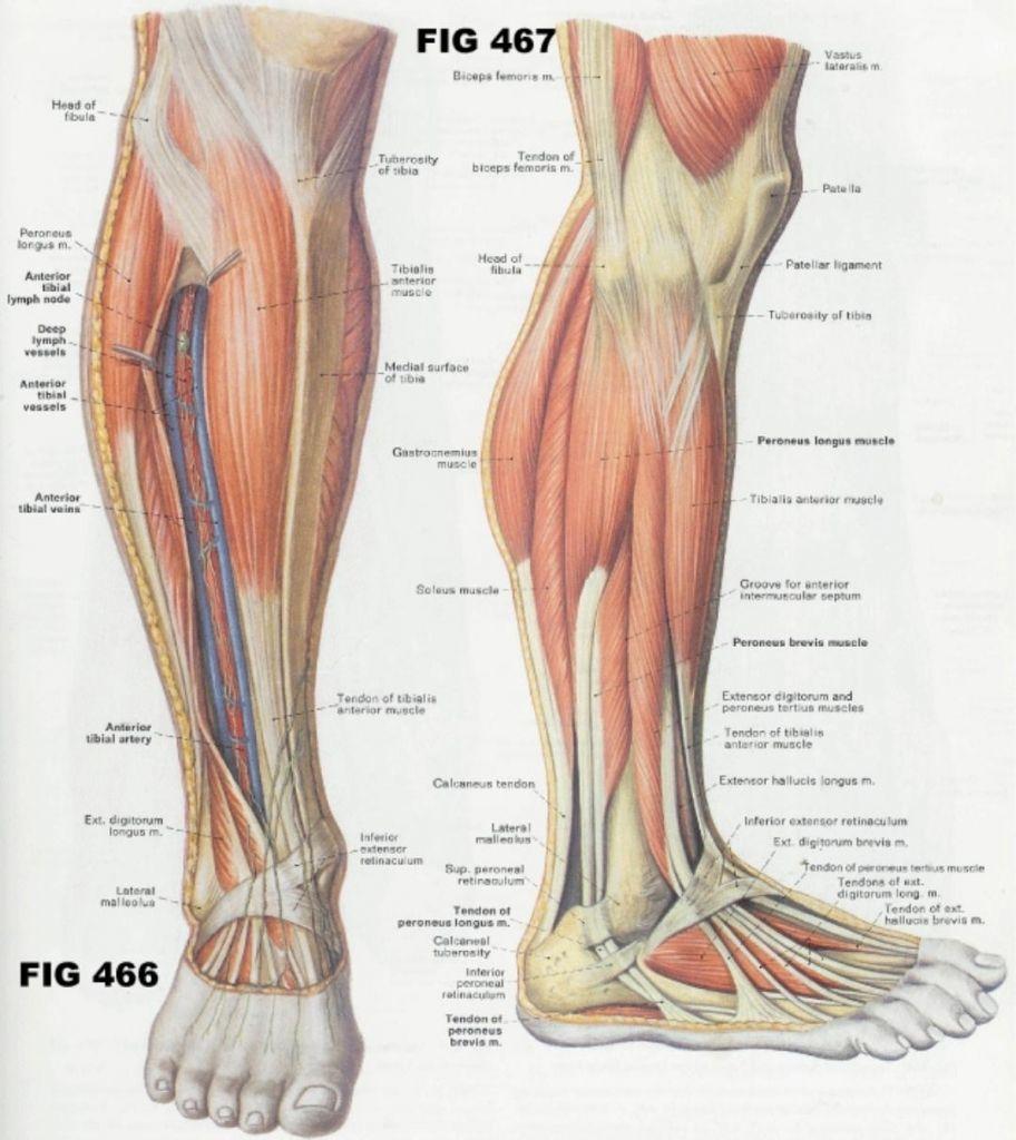 Legs Muscles Anatomy Anatomy Of Leg Muscle Human Anatomy Diagram | A ...
