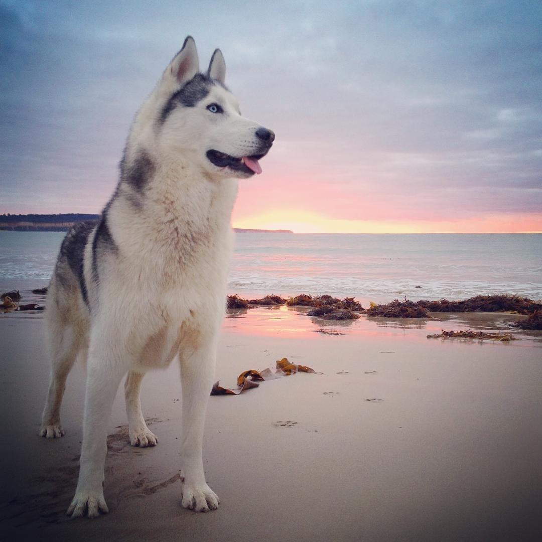 The Beach Wolf Thebeachwolf Scoutlennox Siberianhusky Husky